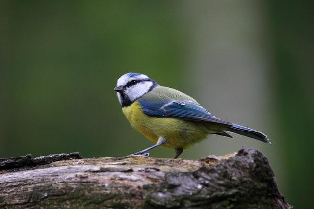 Un oiseaux qui attends un nichoir pour mésange