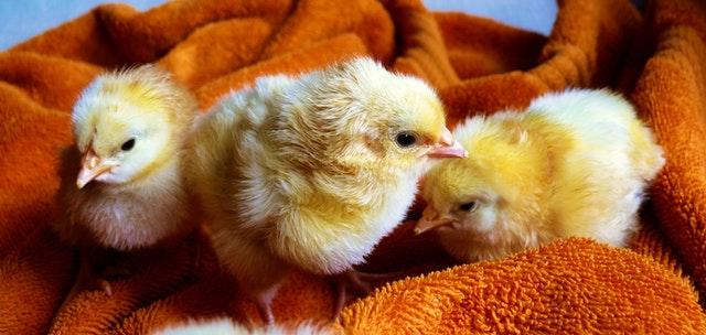Nos Conseils pour Optimiser votre élevage de Poules dans un Poulailler Jardiland