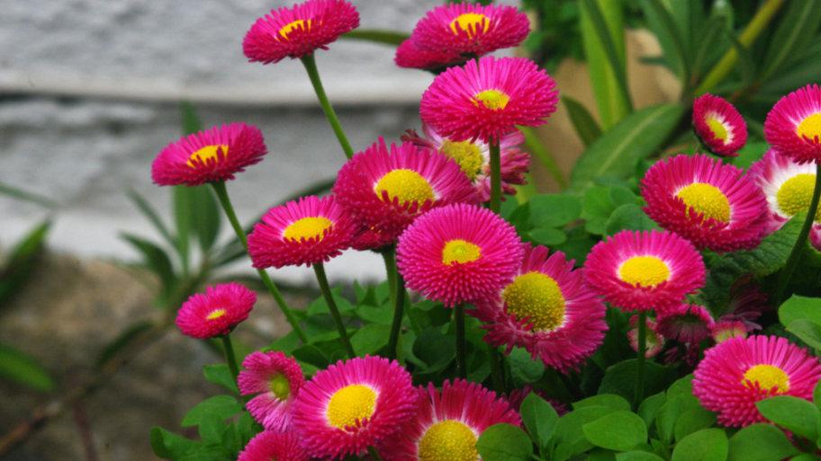 La pâquerette pomponette, tout ce qu'il faut savoir sur cette plante