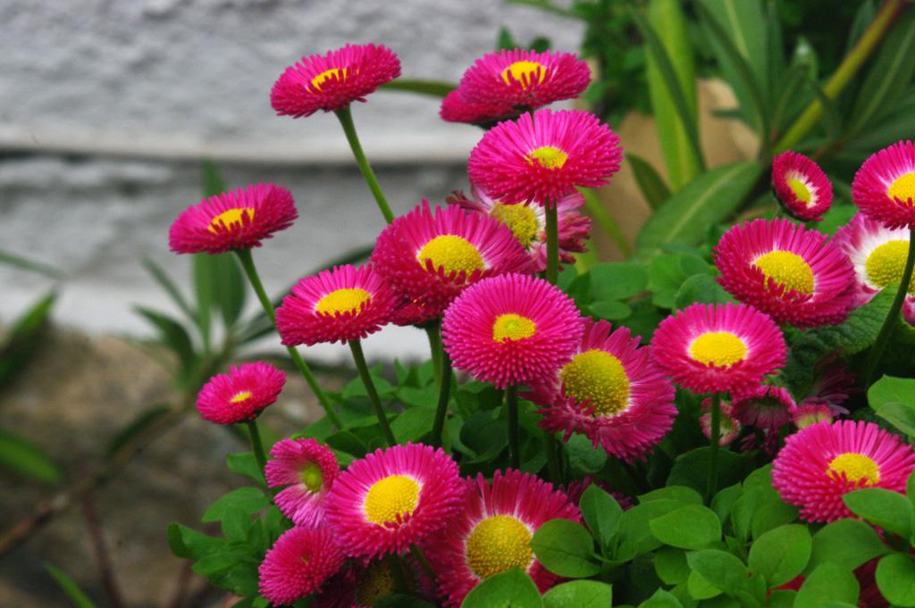 la pâquerette pomponette est l'une des plus belles fleures pour l'été