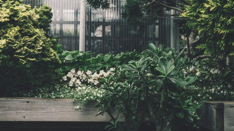 SOS : mon bonsaï ficus perd ses feuilles !