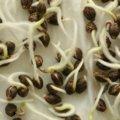 Les graines de cannabis : le guide complet
