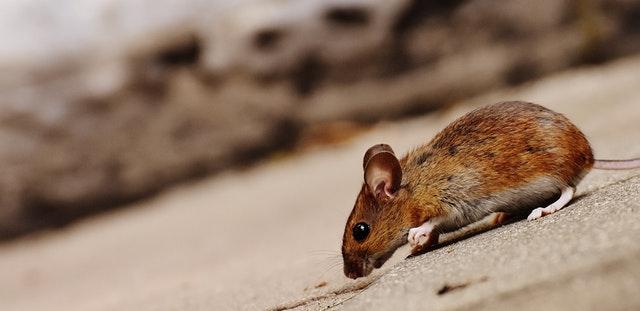 Les appareils à ultrasons pour faire fuir les rongeurs: souris et rats