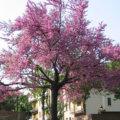 L'arbre de Judée, pour avoir de magnifiques fleurs dans son jardin