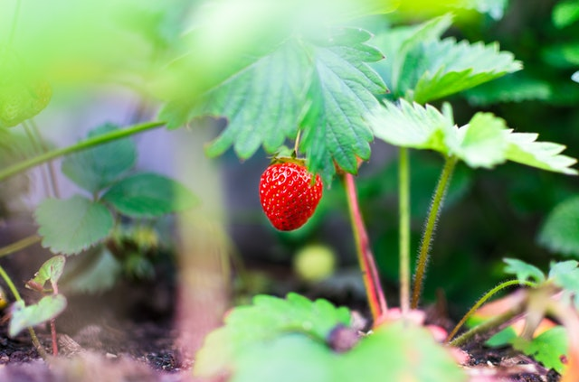 Plantez et récoltez de belles fraises bien juteuses