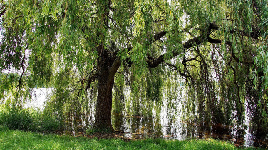 Le saule pleureur, un arbre qui inspire la poésie depuis des siècles