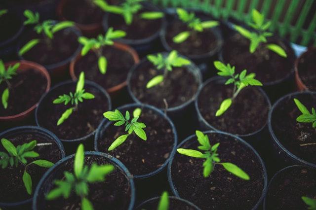 Pour une bonne récolte de tomates bio, tous nos conseils