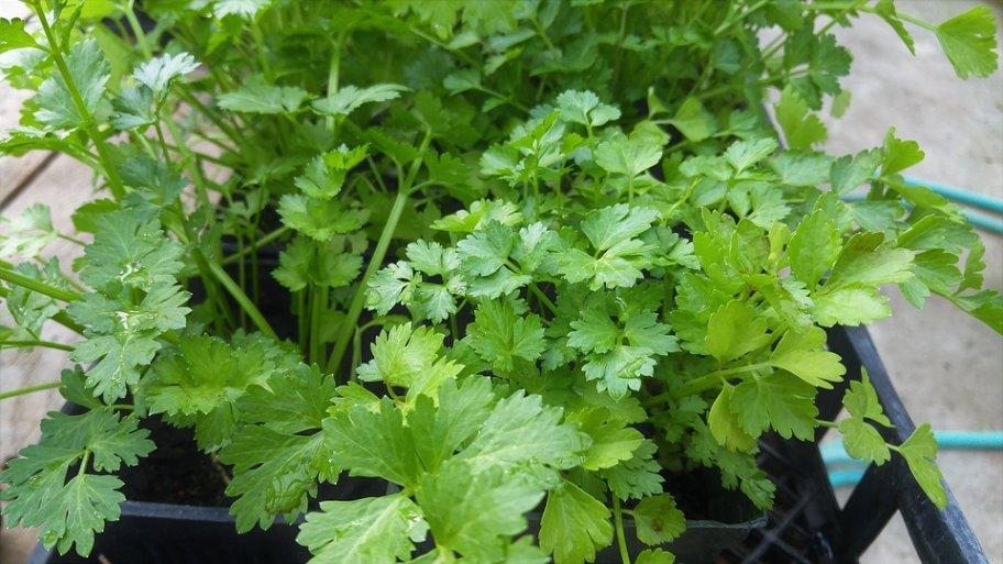 Comment planter de la coriandre ?