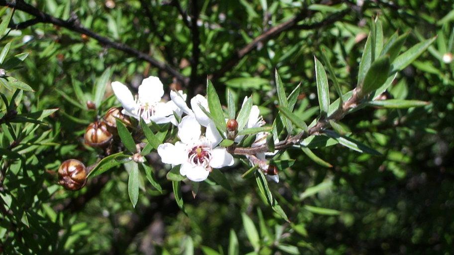 Tout ce qu'il y a à savoir le Manuka (et le miel de manuka)