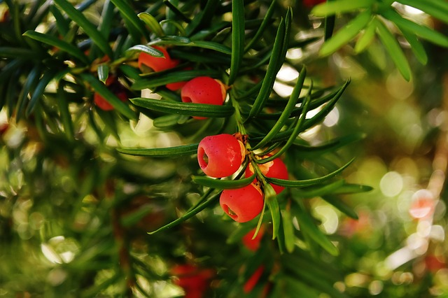 Un arbre persistant pour un peu de verdure dans son jardin