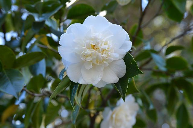 Embellissez votre espace extérieur avec les belles fleurs du camélia