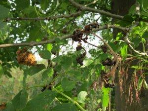 Le Fraxinus Excelsior pour faire de l'ombre et décorer votre grand jardin