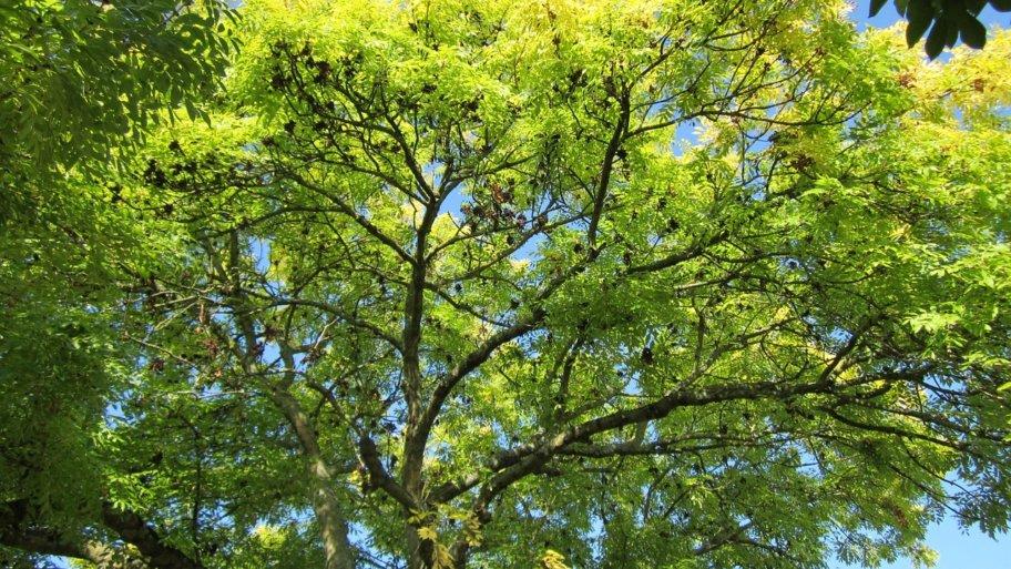 Optimisez l'aménagement de votre grand jardin avec le fraxinus excelsior