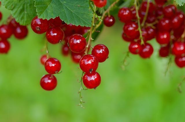 Intégrer des fruits rouges dans son jardin, un côté pratique et design