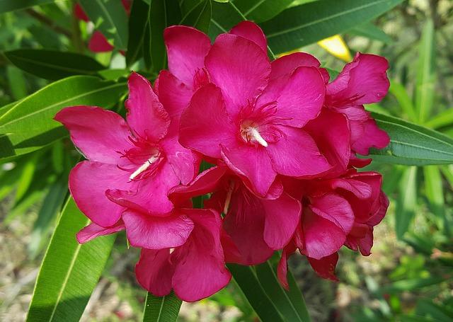 Le laurier rose pour agrémenter votre intérieur ou votre jardin