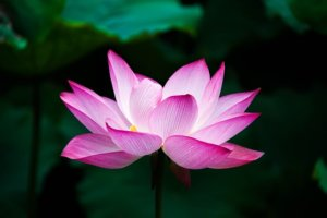 Tout sur la Fleur de Lotus