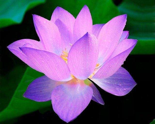La fleur de lotus : l'atout charme de votre jardin et de votre intérieur