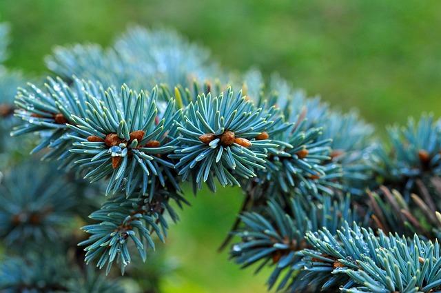 Optez pour un sapin bleu pour rehausser le design de votre jardin