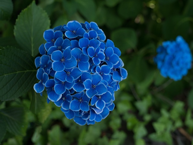L'hortensia grimpant : un arbuste estival qui n'a pas peur de l'ombre