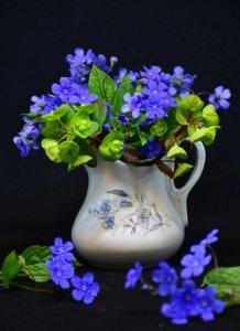 Le Myosotis est une très belle fleur d'intérieur et d'extérieur