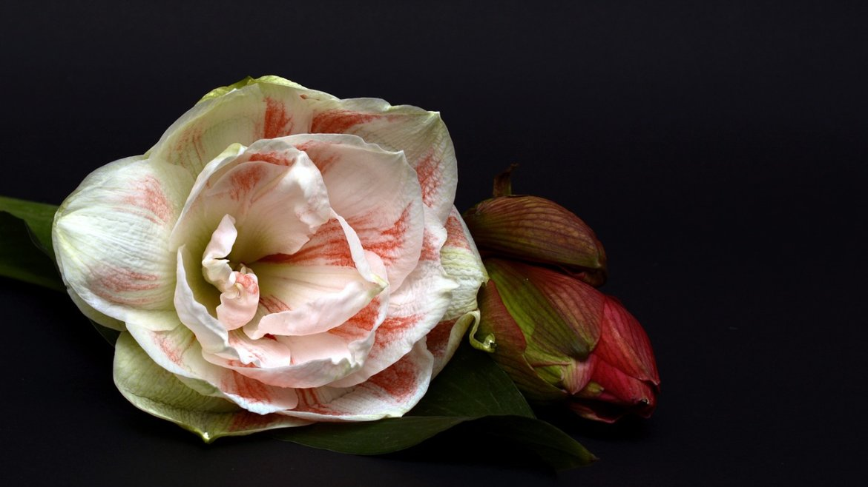 Invitez l 39 amaryllis dans votre jardin d 39 eden for Amaryllis exterieur