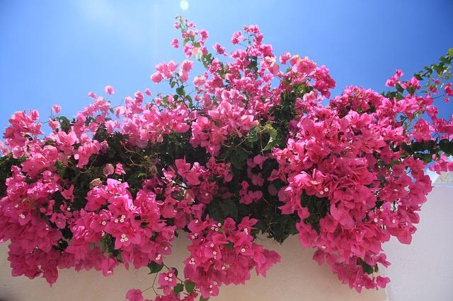 Le bougainvillier, pour une ambiance tropicale dans votre jardin
