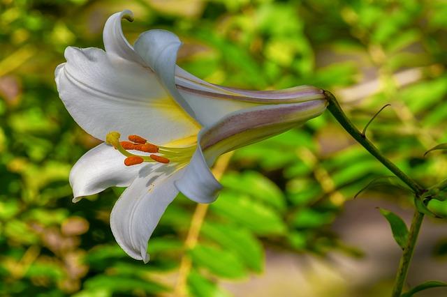 Des fleurs de lys pour embellir votre jardin