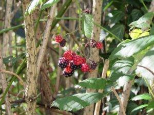 Le Framboisier, décoratif et apporte des fruits succulents
