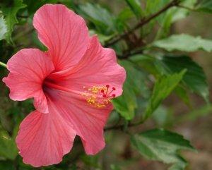 La belle robe de l'Hibiscus enjolivera n'importe quel type de jardin
