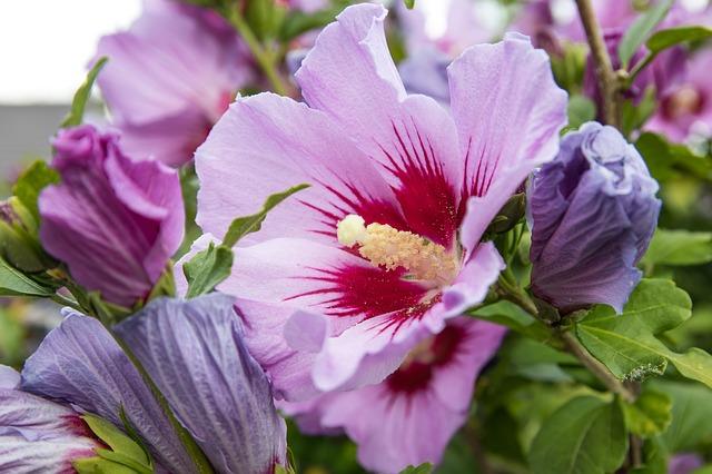 Optez pour l'hibiscus pour raviver tout votre jardin