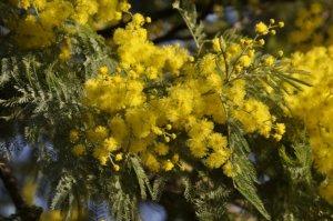 Tout la beauté du Mimosa d'Hiver