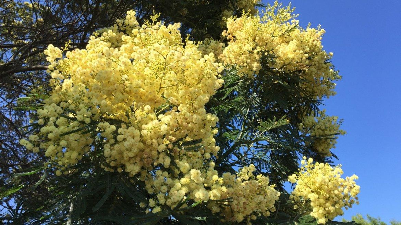 Pour un jardin plein de vie même dans le froid grâce au mimosa d'hiver