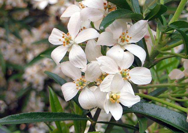 L'oranger du Mexique, ce magnifique arbuste pour rehausser la beauté de votre jardin