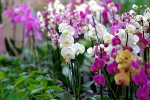 Orchidée : une très belle fleur