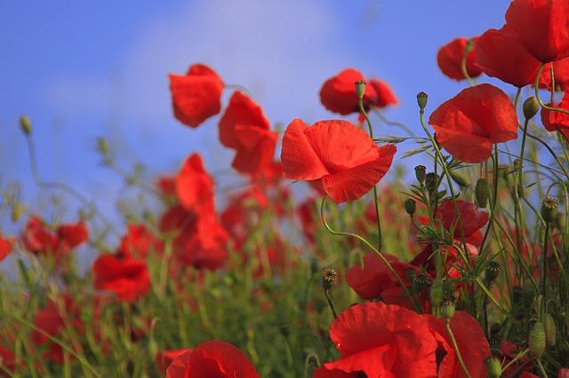 Le pavot : élément décoratif pour votre jardin