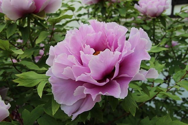 Toujours plus de couleurs dans votre jardin avec la pivoine