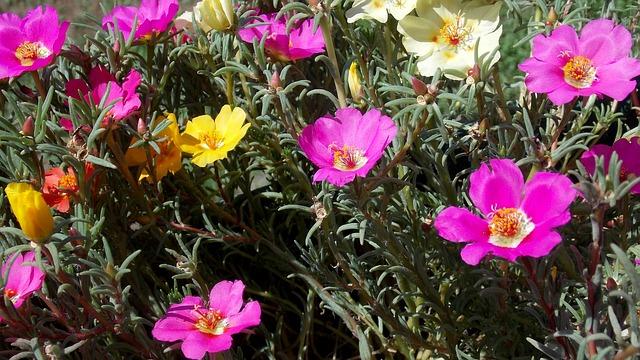 Décorer facilement un jardin sec avec du pourpier