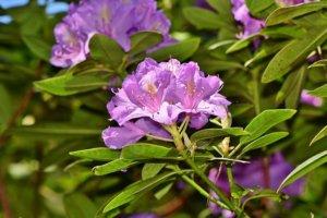 Le Rhododendron dans toute sa splendeur...