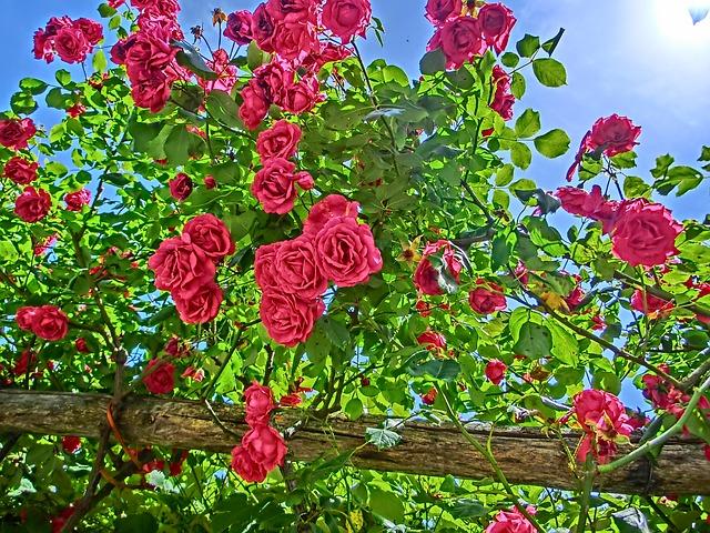 Réussir la taille des rosiers pour un jardin harmonieux