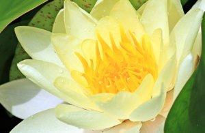 Le nénuphar, une excellente plante pour un Bassin de Jardin