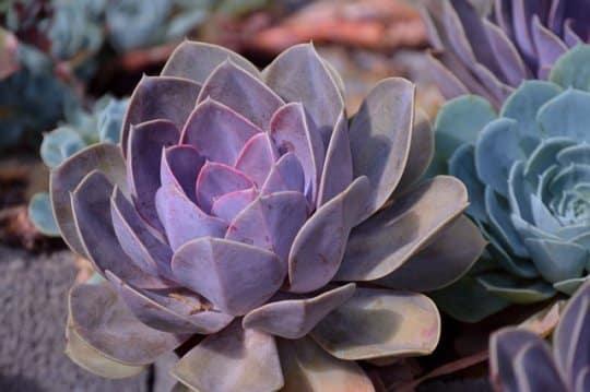 Plantes grasses : tout savoir sur leur bouturage !