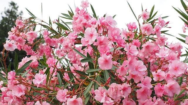 Taille du laurier rose