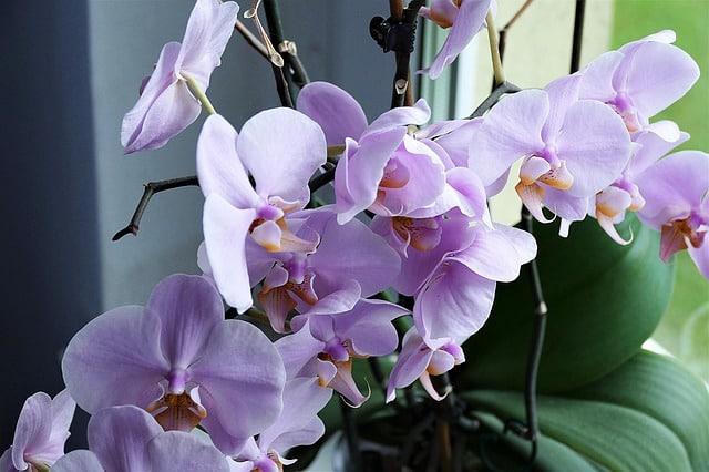 Le b.a.- ba du rempotage d'une orchidée