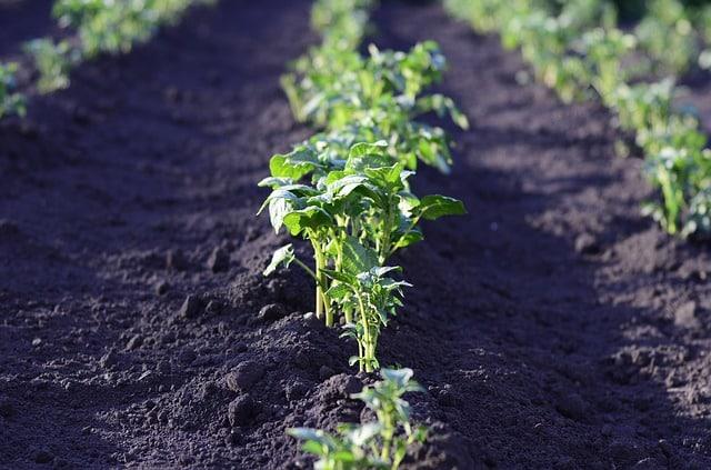 Savoir Comment Planter des Pommes de Terre implique que vous fassiez un gros apport de compost