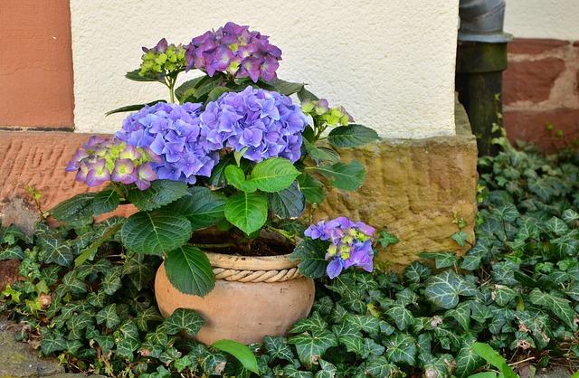 la Plantation Hortensia en pot est tout à fait possible
