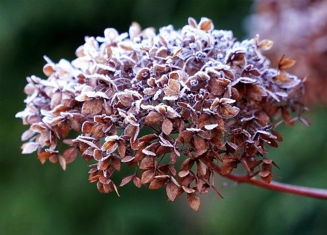 Commencez la Taille d'un Hortensia en supprimant le bois mort et les fleurs fanées