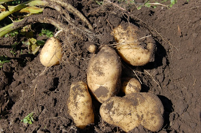 Comment planter des pommes de terre
