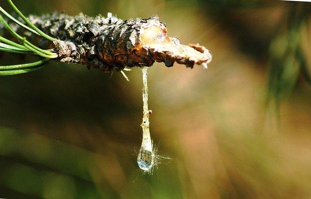 Elle est obtenue par distillation et purification de nombreuses espèces d'arbres résineux