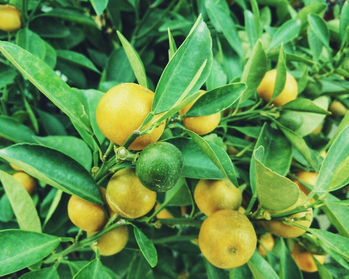 Entretien d un citronnier