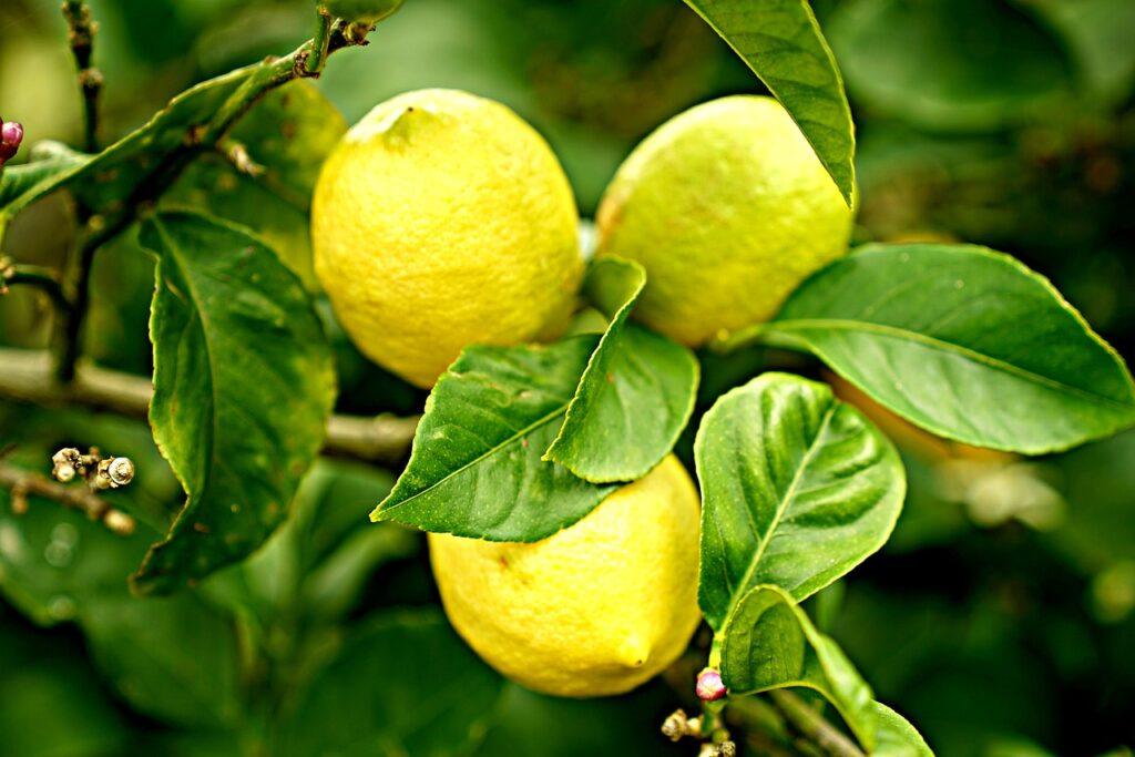 entretenir le citronnier